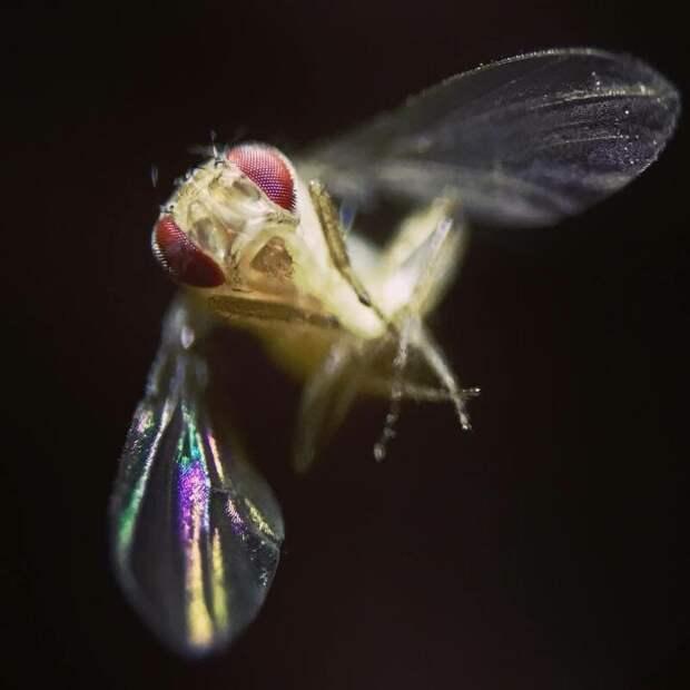 Дрозофилка — это та самая маленькая мушка, которая летает по кухне в мире, интересно, под микроскопом, познавательно, фото