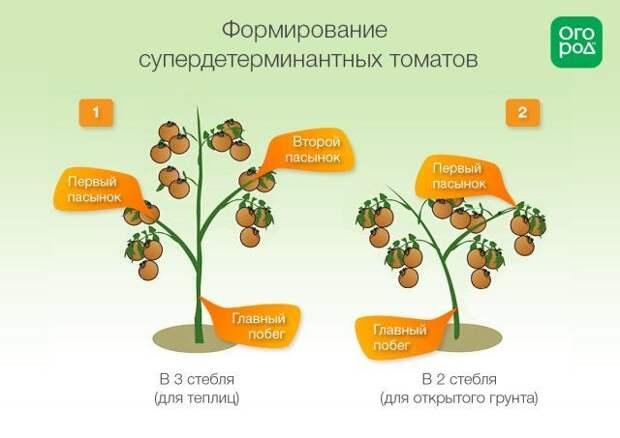 Схема формирования помидоров супердетерминантных сортов