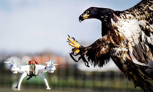 Орел принял дрон за птицу и решил поохотиться. Видео с камеры на дроне