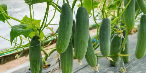 Богатый урожай: как приготовить подкормку для огурцов