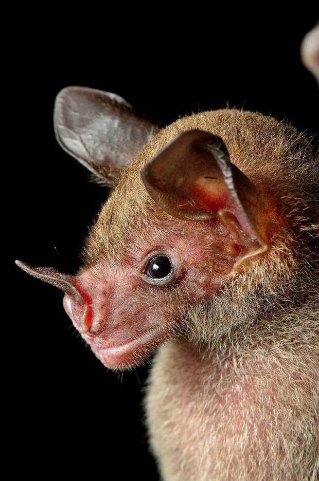 pale-spear-nosed-bat