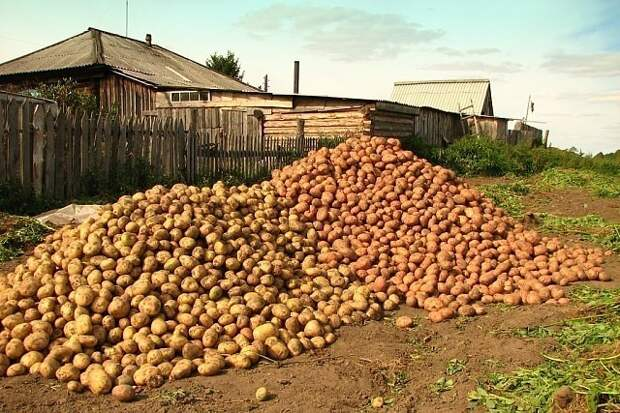 Чем меньше клубень картофеля, тем крупнее он дает клубни