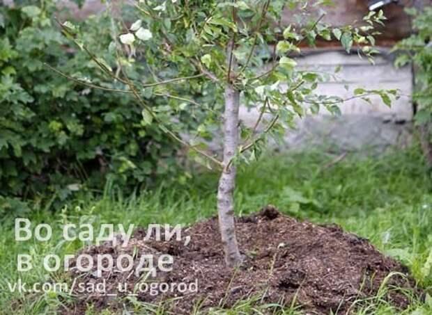 Если дерево засохло за неделю