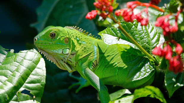 Украсить террариум можно безопасными для игуаны растениями