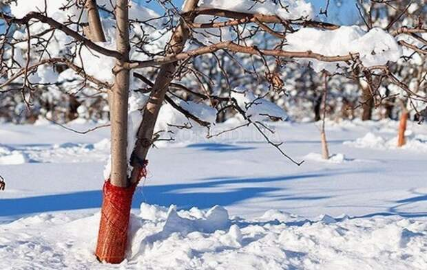 Как защитить стволы деревьев зимой?
