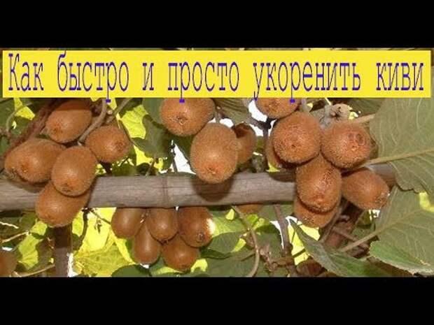 Наиболее распространенным способом размножения киви является вегетативный.