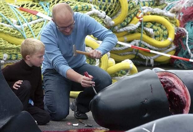 Массовое убийство черных дельфинов в Дании - INFOnotes