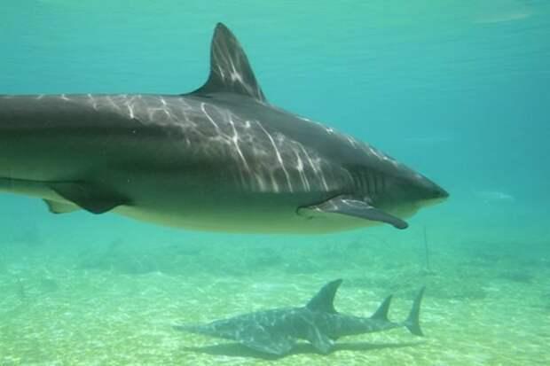 Без костей акулы, факты, хищники
