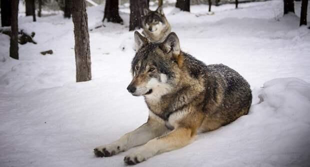 В Архангельске горожан и их животных терроризируют волки