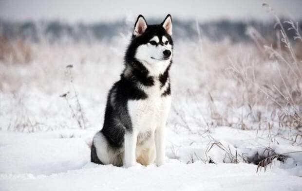 Сибирский хаски больших, бульдог, до маленьких, питомец, породы, собак, такса