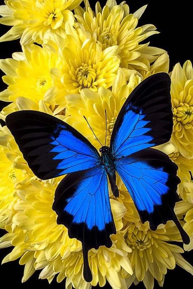 Бразильская бабочка калиго защищается таким способом - при виде птицы она переворачивается, показыва рисунок на внутренней стороне крыльев - рисунок точно повторяет лицо совы с яркими глазами и острым клювом. Это отпугивает хищников. бабочки, интересное, красота, насекомые