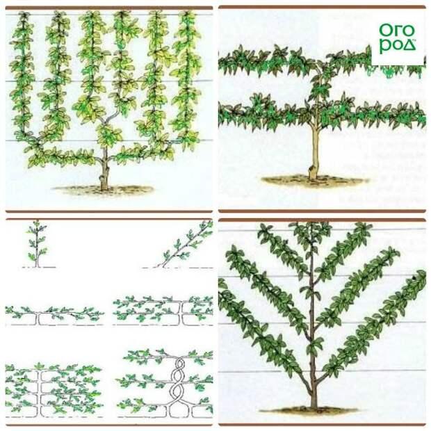 метод формирования деревьев на шпалере