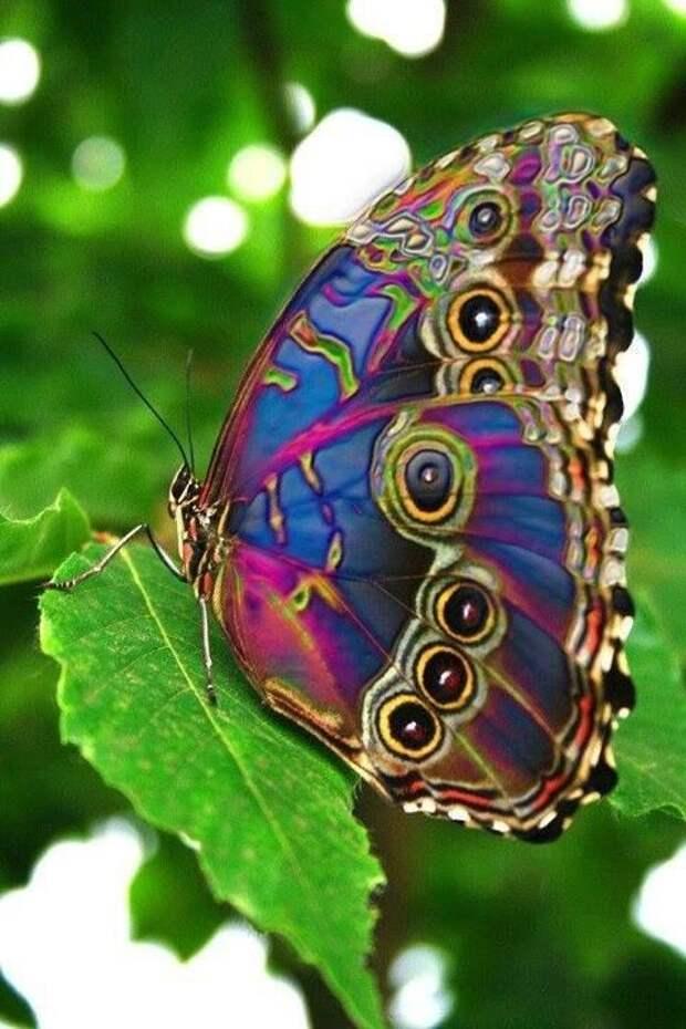 Бабочки могут напиться сока гниющих фруктов и находиться в состоянии алкогольного опьянения со всеми его признаками - потеря ориентации, заплетающиеся ножки и не летающие крылышки... бабочки, интересное, красота, насекомые