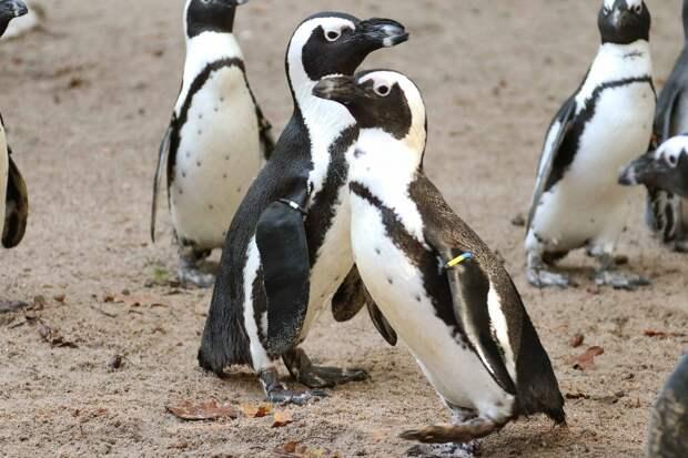 Пингвины-геи выкрали яйцо у пингвинов-лесбиянок в голландском зоопарке