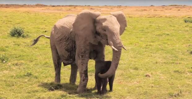 Люди спасли слоненка и вернули его взволнованной матери