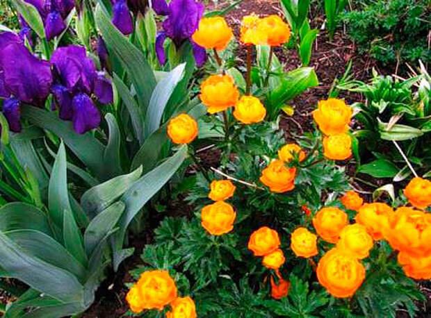 Многолетний садовый цветок Купальница (Trollius)