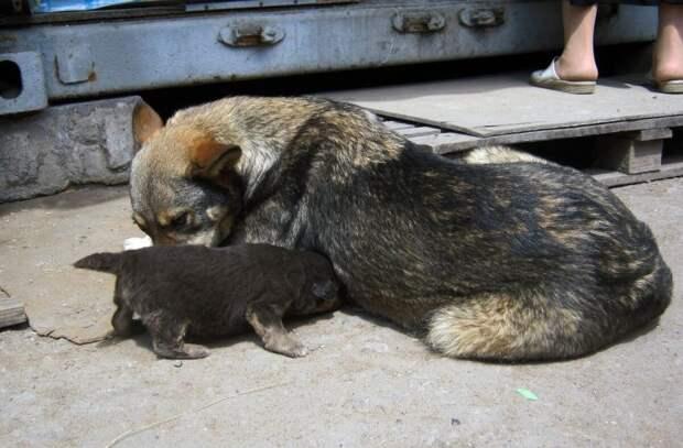 Звания Собачьей Мамы с большой буквы, достойна эта обычная дворняга