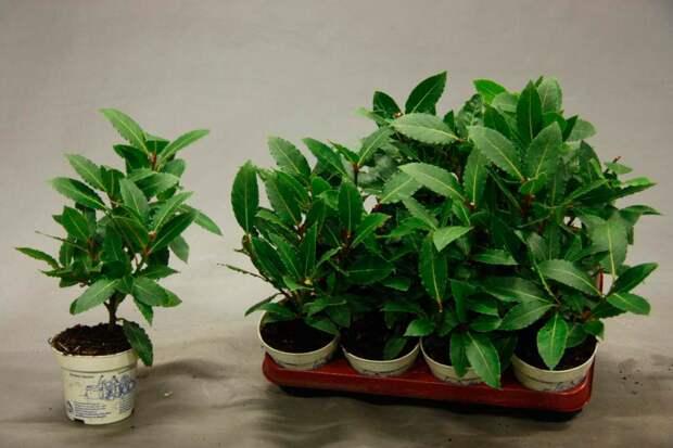 Комнатное растение Лавр (Laurus)