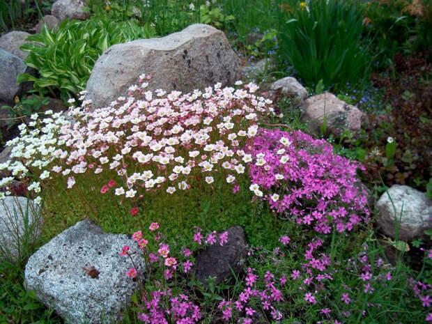 Многолетний садовый цветок Камнеломка (Saxifraga)