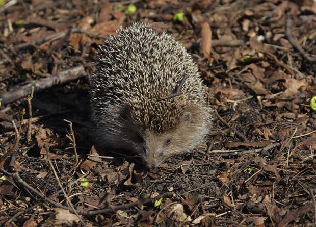 Ежи в парке «Тушинский» в июне ожидают потомство