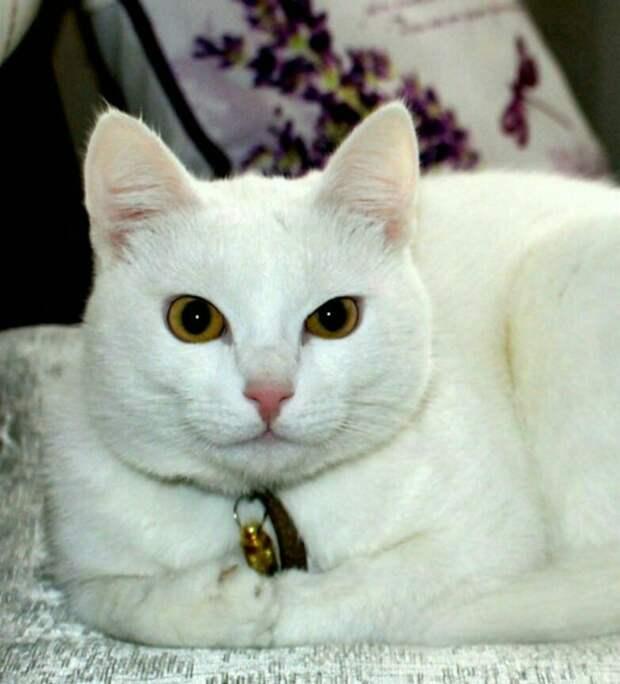 белый кот рис 3