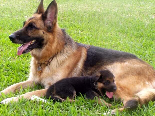 собака породы немецкая овчарка. фото