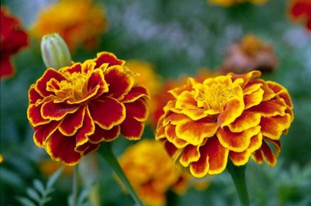 Как выбирать семена цветов? Советы опытных дачников
