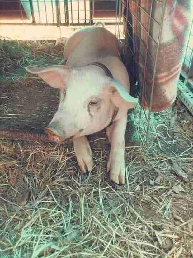 Piglet being raised for slaughter in Ontario
