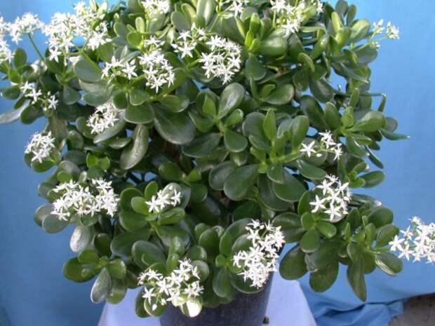 Цветущая Толстянка (Крассула), Денежное дерево