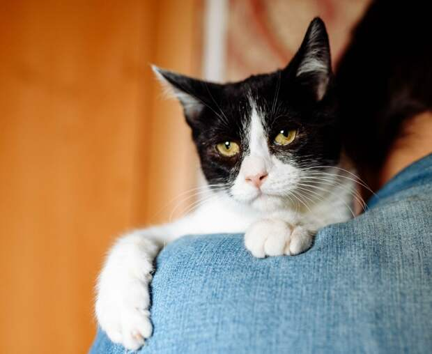 Вы только представьте картину - вечер, уютное кресло, а у вас на коленях расположился огромный бело-чёрный котик с янтарными глазами))
