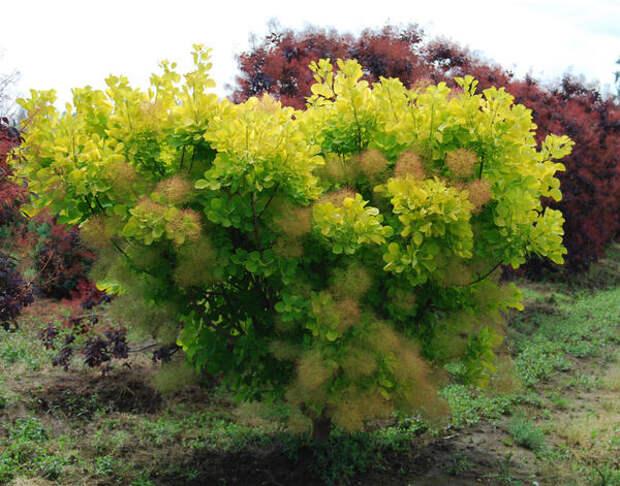 Скумпия кожевенная 'Golden Spirit'. Фото с сайта greenmart.com.ua