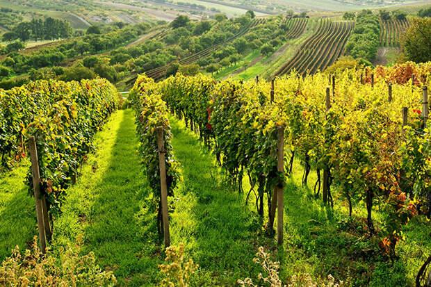 Виноградники Чехии осенью