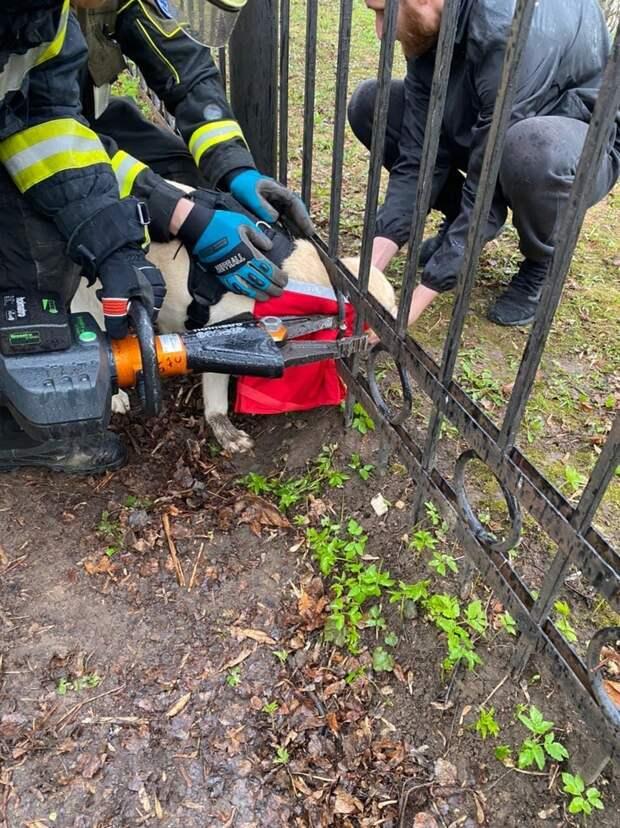 Спасатели пришли на помощь застрявшему в заборе лабрадору в Лазоревом проезде