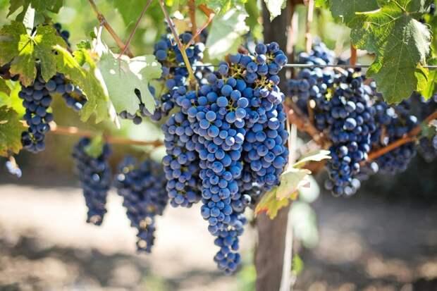 Картинки по запросу cabernet sauvignon grapes