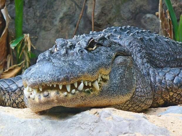 Как медсестра-стоматолог стала ловцом аллигаторов животные, факты