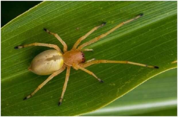 На территории ДНР появились ядовитые пауки «желтый мешок»