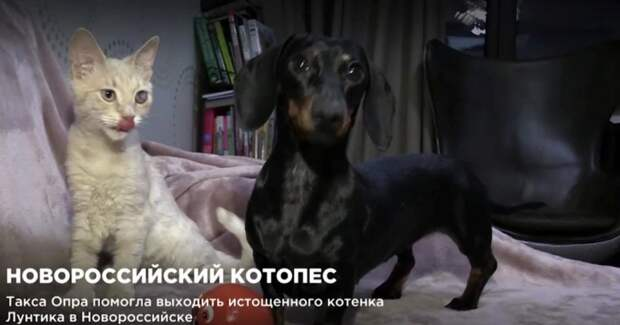 В Новороссийске такса заменила мать подобранному с улицы котенку