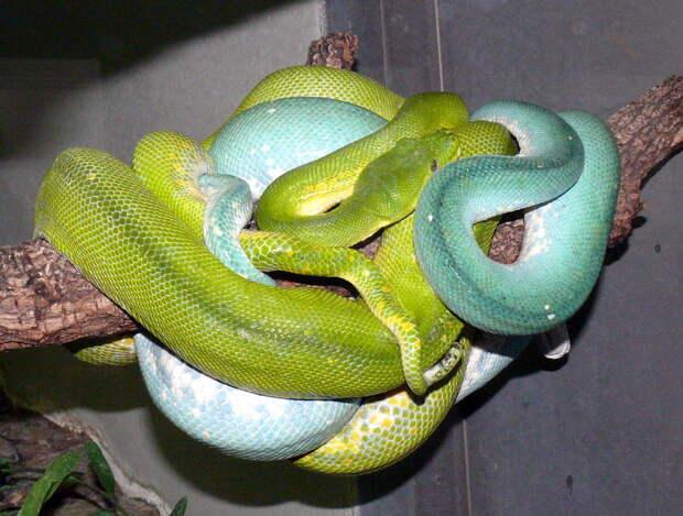 Зеленый питон (лат. Morelia viridis) 19