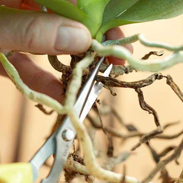 Как возродить «из мертвых» свою орхидею. Есть метод, который работает!