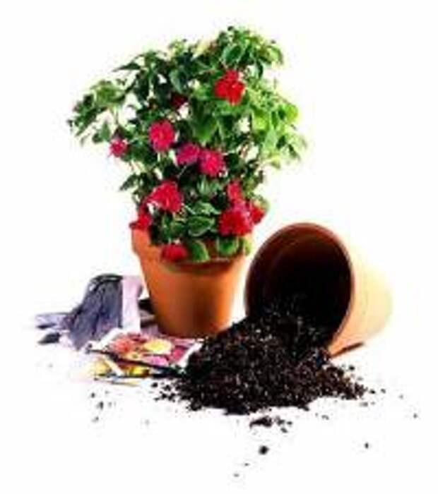 cvetok-v-gorshke-v-kotorom-prodavalsja
