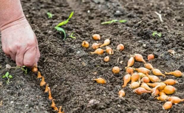 Как правильно сажать лук: Несколько советов, с которыми справится и профи, и новичок