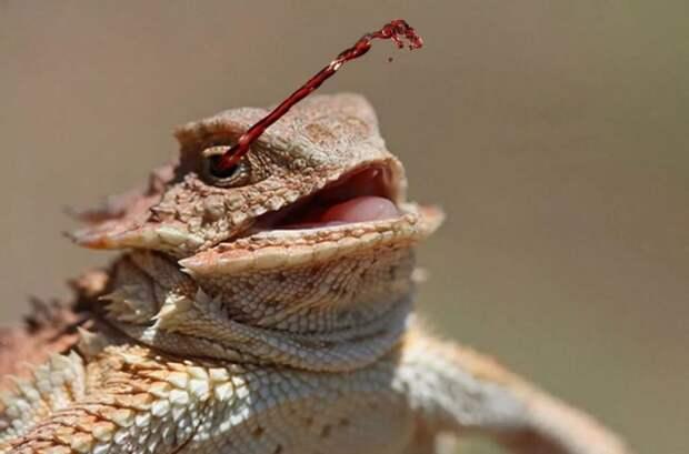 Оказывается, есть ящерицы, которые стреляют кровью из глаз