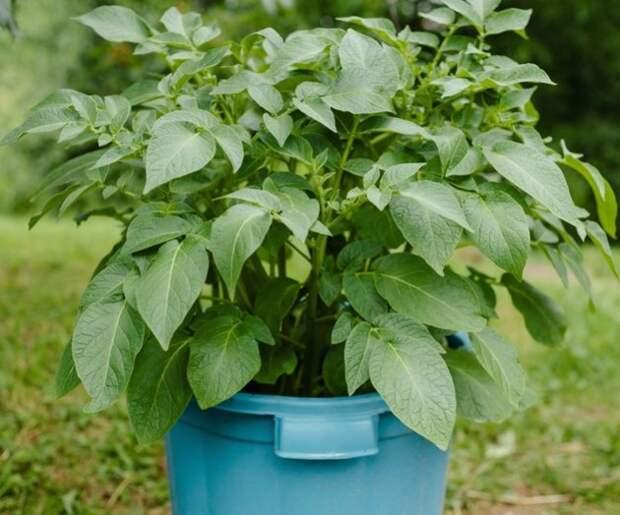 Контейнерное выращивание – не для картофеля!