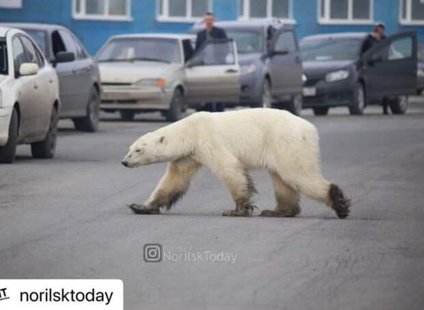 Пойманная в Норильске истощенная медведица идет на поправку