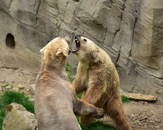 Помесь белого медведя с гризли может стать новым видом хищника в Северной Америке
