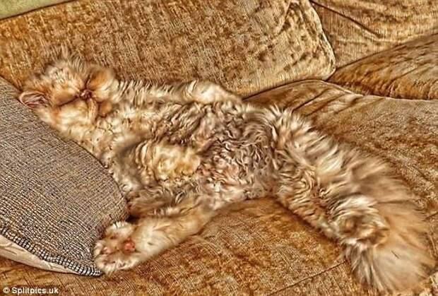 20. Никто не замечает - можно и вздремнуть домашние животные, коты, кошки, маскировка, маскируется, прятки, смешные кошки
