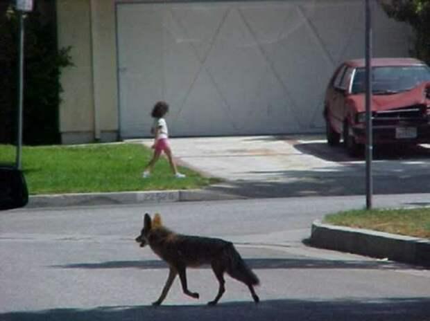 Койоты в большом городе — как звери уживаются с людьми в мегаполисе (4 фото)