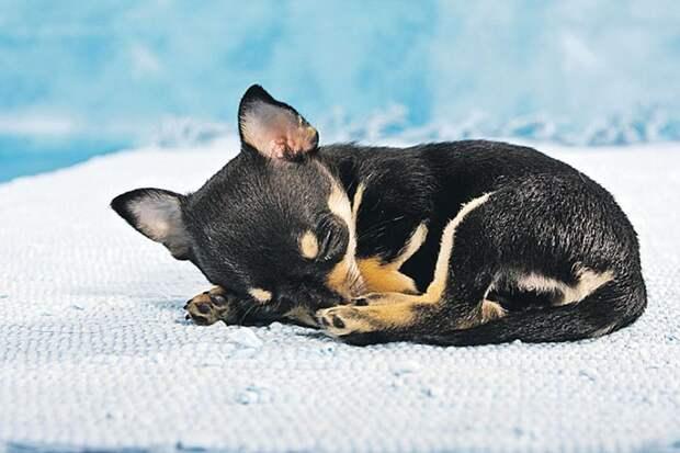 Если собака свернулась в клубок - ей не очень комфортно. Фото: globallookpress