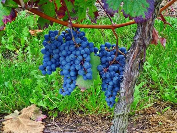 Сорняки на винограднике: друзья или враги?
