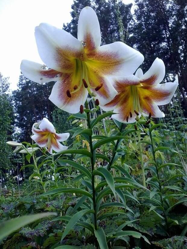 Высокие лилии